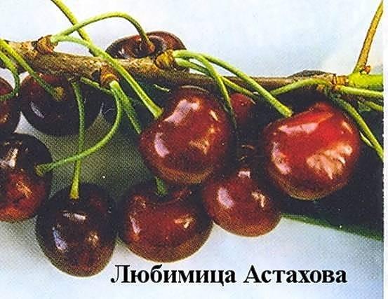 Черешня любимица астахова: описание сорта, посадка и уход + фото, отзывы