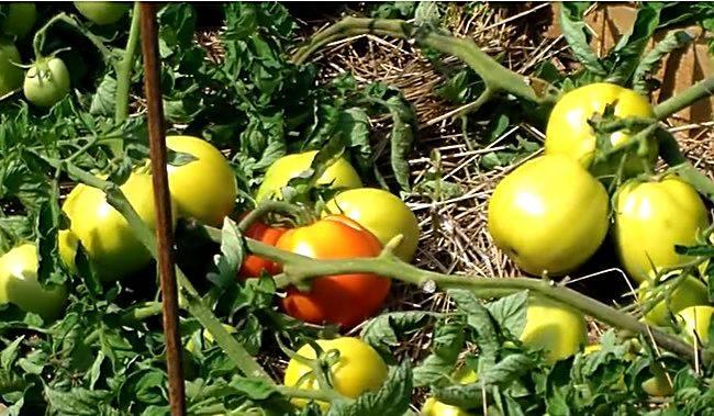 Томат ямал: характеристика и описание сорта, фото русский фермер