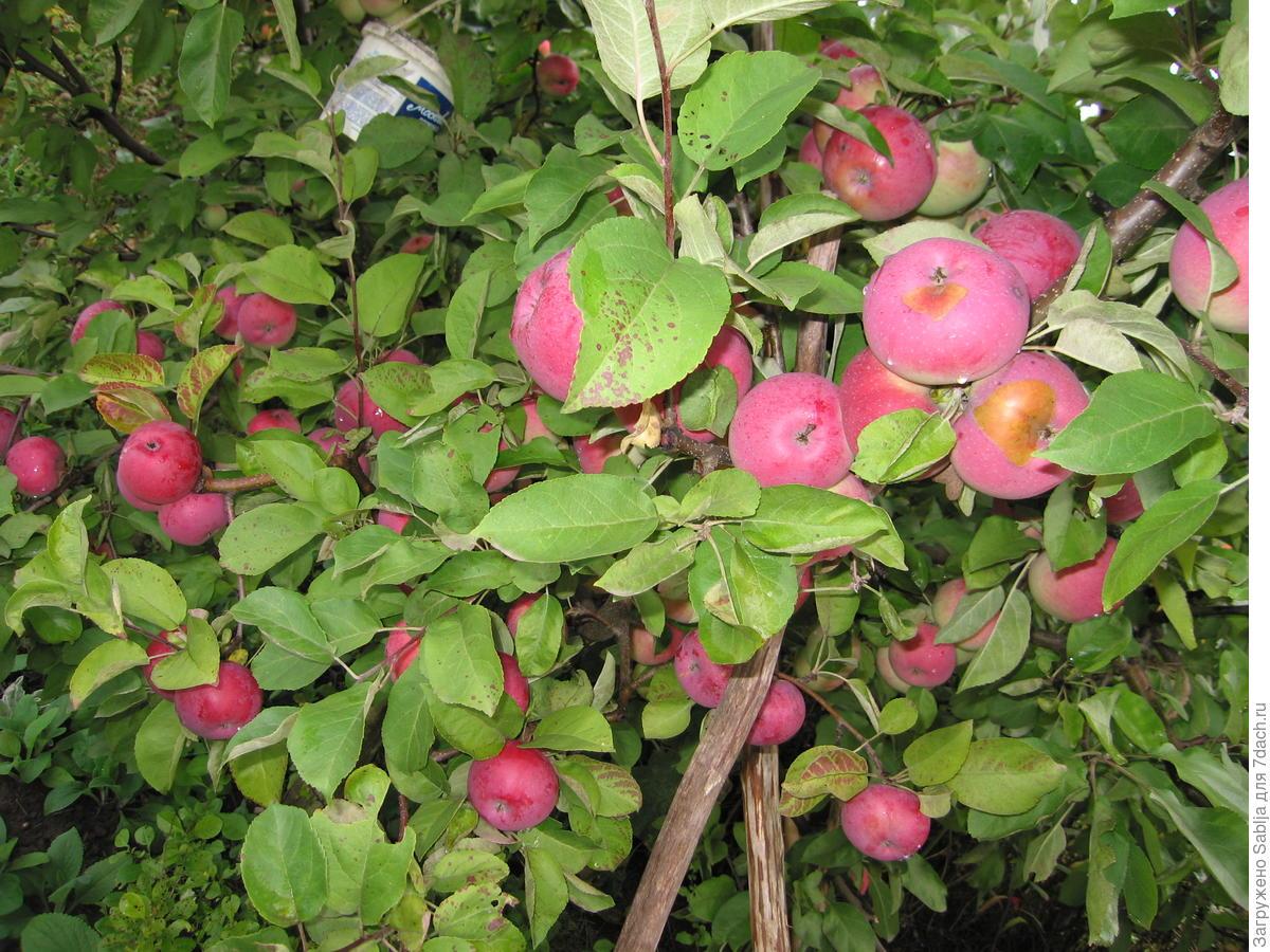 Яблоня лобо: описание, фото, отзывы, посадка, характеристика