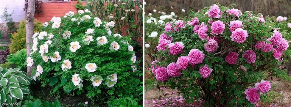Пион древовидный: фото, уход, посадка, выращивание, размножение, сорта с названиями
