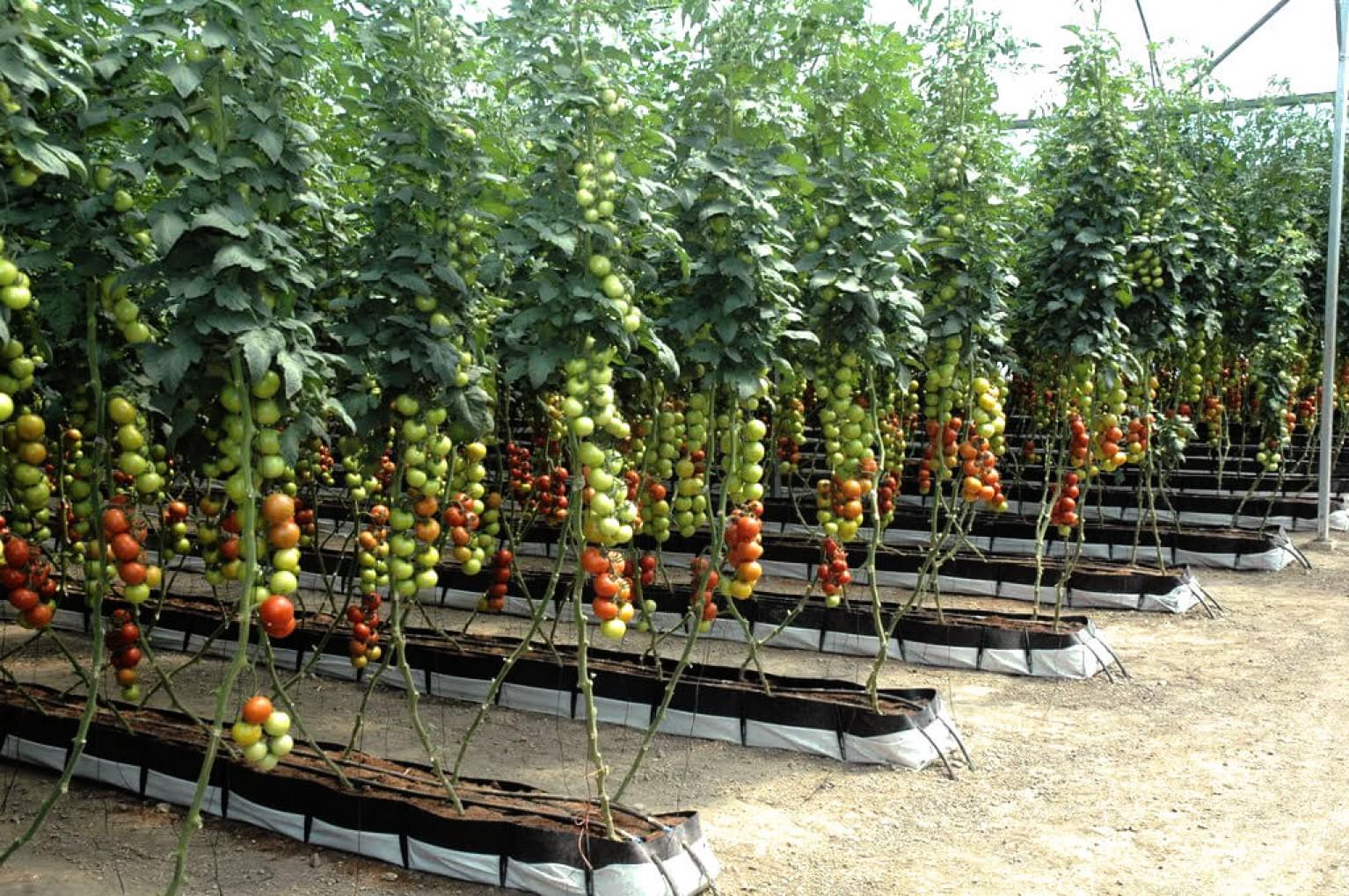 Помидоры на гидропонике: технология выращивания, лучшие сорта и удобрения