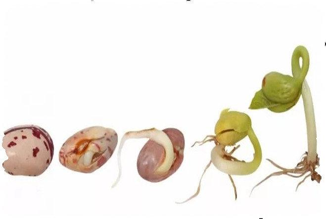 Проращивание семян фасоли в домашних условиях