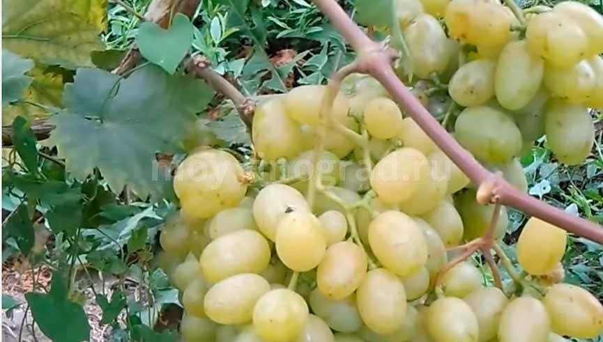 Виноград галахад - столовый сорт с высокой урожайностью.
