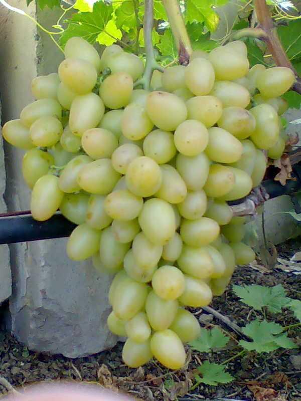 Описание и правила выращивания винограда сорта Антоний Великий