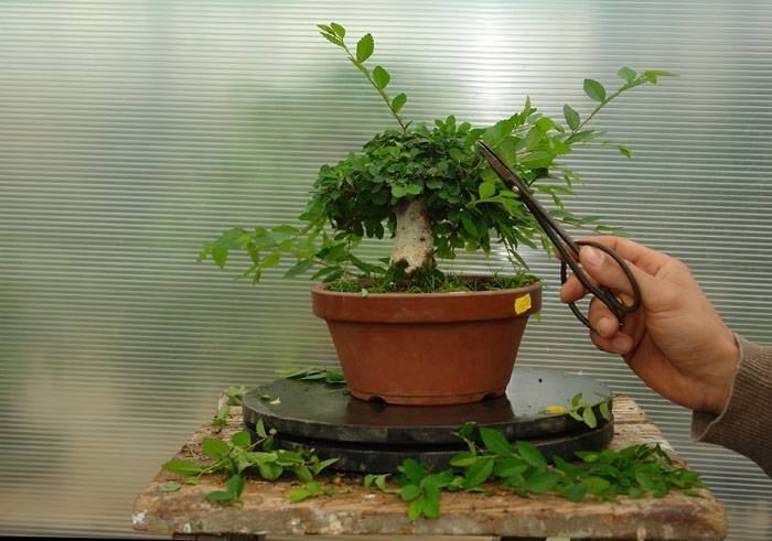 Дерево бонсай: что это такое и что символизирует, как выбрать растение и выращивать цветок, сколько растет, инструкция посадки для начинающих