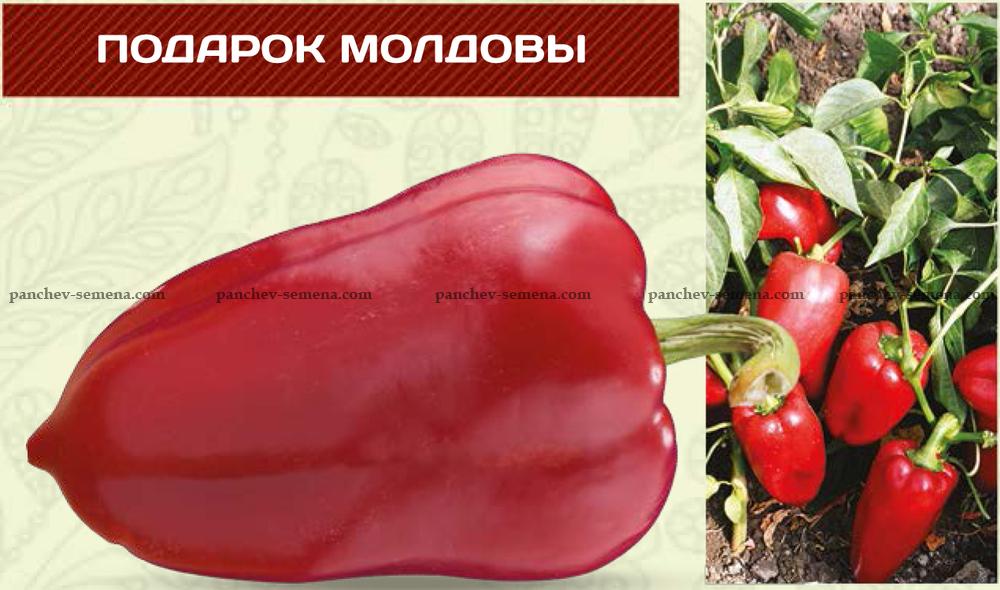 Перец подарок молдовы: характеристика и описание сорта, выращивание и уход