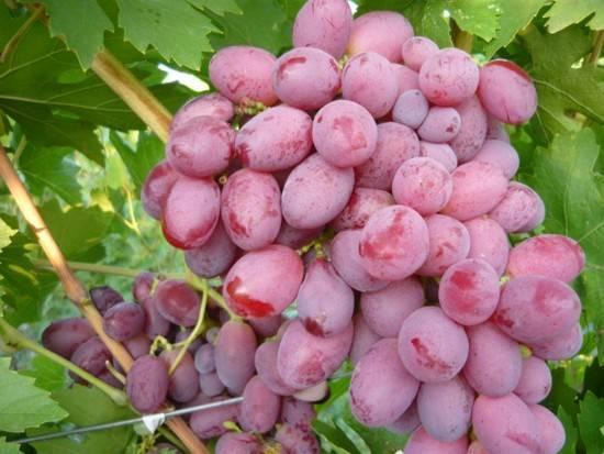 Виноград подарок ирине описание сорта фото отзывы