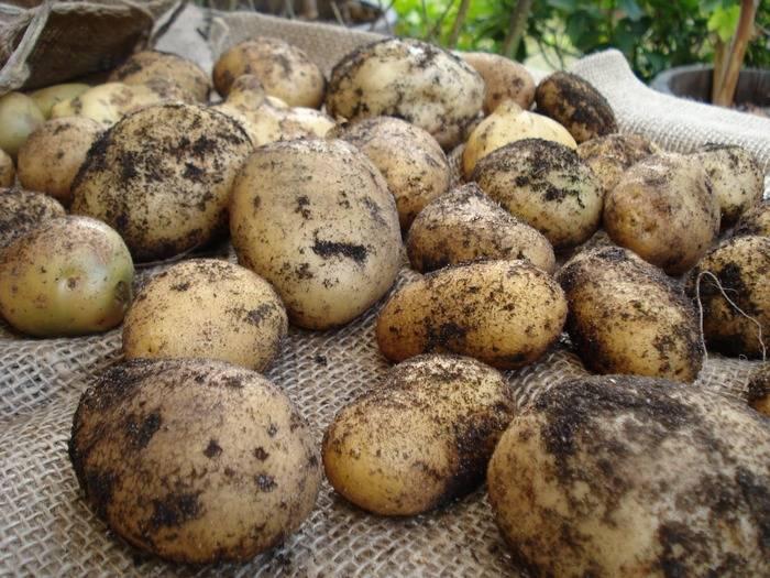 Ранний столовый сорт картофеля «палац» от белорусских селекционеров