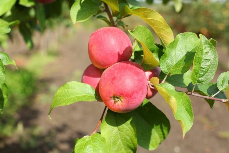 Яблони для подмосковья устойчивые к парше. летние сорта | дачная жизнь