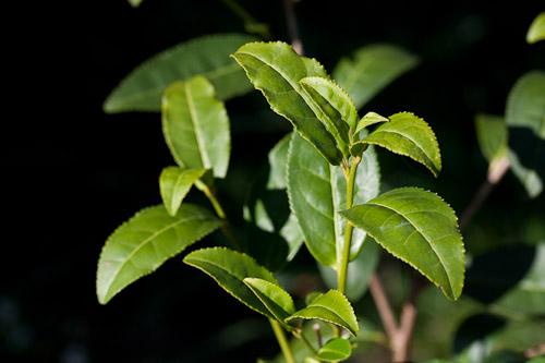 Чай зеленый (камелия китайская)
