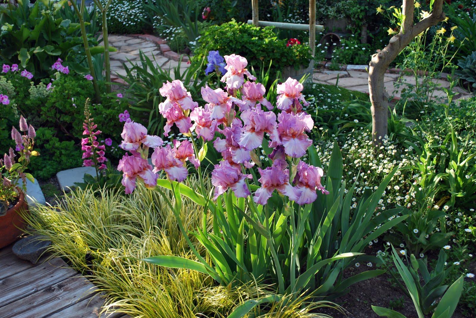Ирисы в современном ландшафтном дизайне сада: несколько примеров