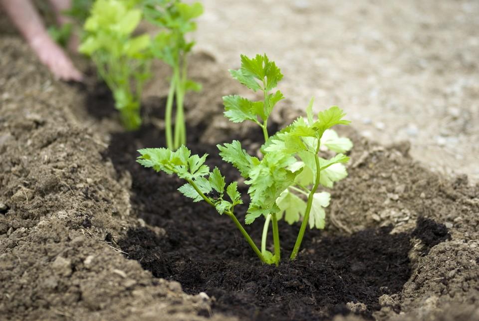 Правила выращивания пастернака в открытом грунте, посадка и уход