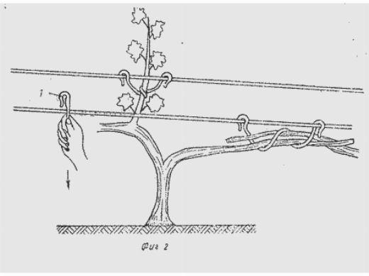 Формировка молодых кустов - виноград для начинающих