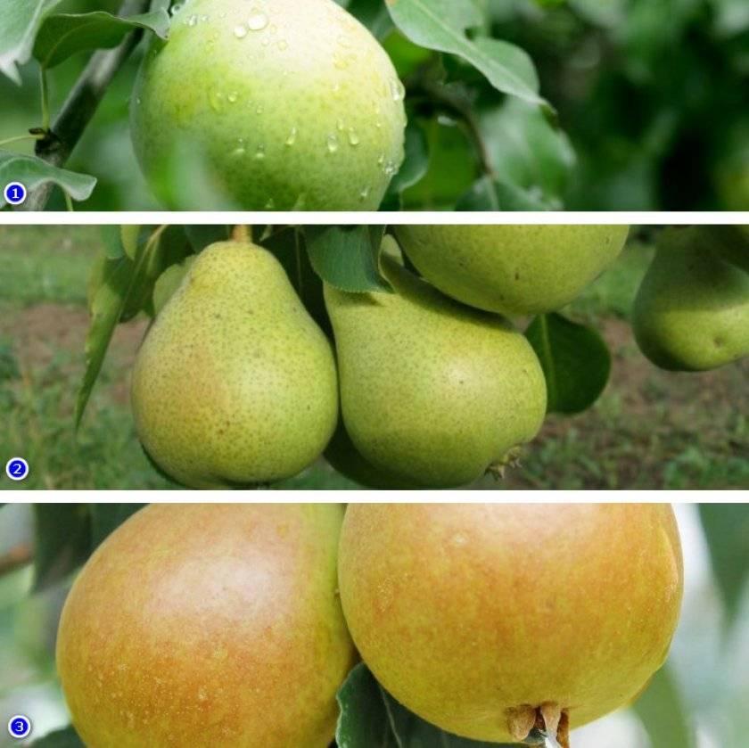 Груша рогнеда: скороспелая ароматная культура в саду