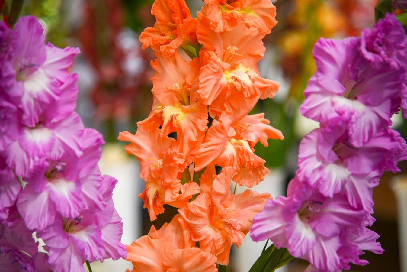 Гладиолусы: советы садоводам по уходу, посадке, размножению