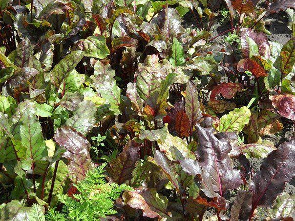 Почему краснеют листья у свеклы: что делать и как бороться