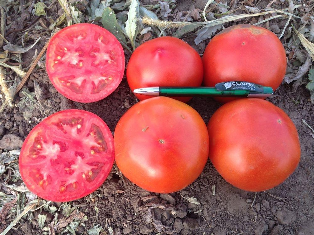 Томат фенда: характеристика и описание сорта, технология выращивания с фото