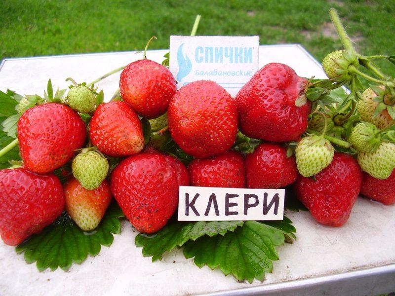 Клубника клери: описание фото и ценные советы по уходу за ягодой
