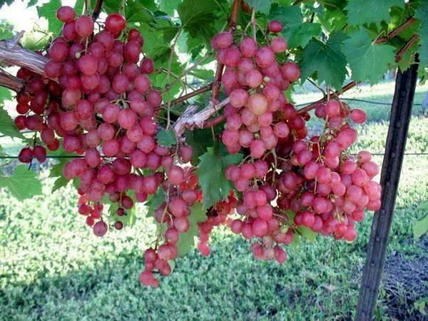 Виноград «виктор»: описание сорта, фото и отзывы