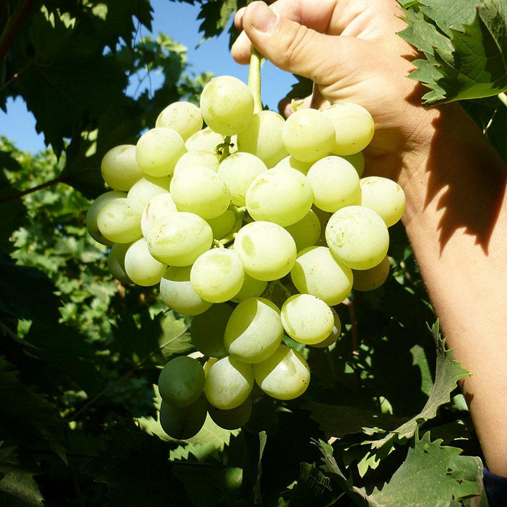 Виноград антон великий: селекция, описание сорта, правила посадки и особенности ухода, достоинства, отзывы