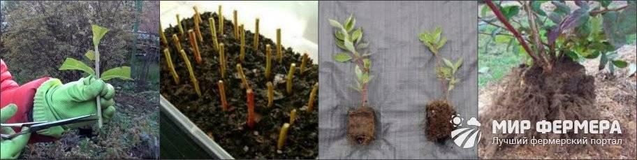 Как размножить голубику: черенками, отводками, делением куста, сроки