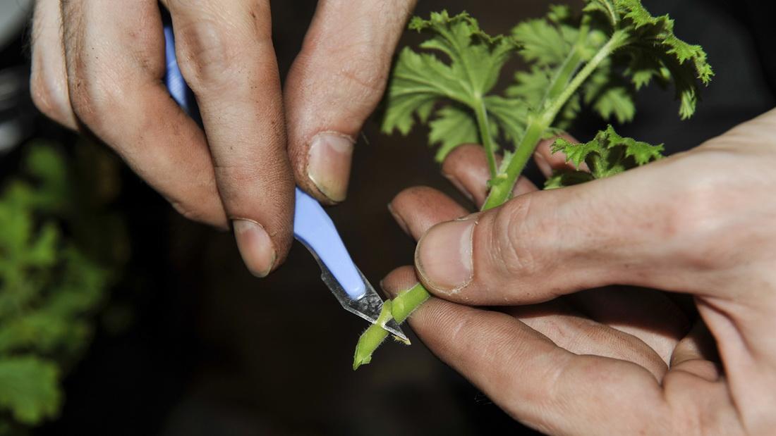 Какими способами размножается мята, методы черенками, семенами, делением, уход
