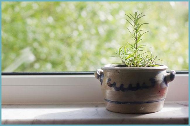 Как вырастить тимьян(чабрец) на подоконнике, посадка и уход в домашних условиях