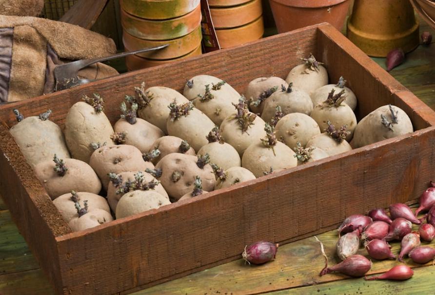 Проращивание картофеля перед посадкой - сроки, методы, обработка