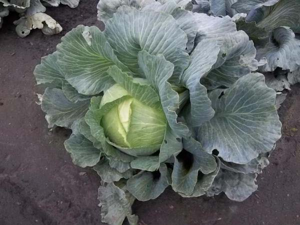 Проверенный годами сорт с впечатляющими урожаями — капуста амагер 611: отзывы и описание