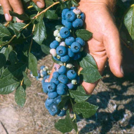 Голубика патриот: описание сорта, фото, посадка и уход, отзывы