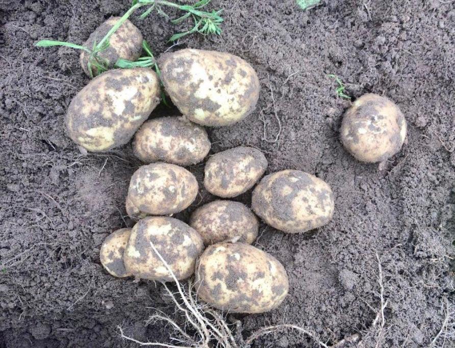 Картофель коломбо: описание сорта, его характеристика и фото русский фермер