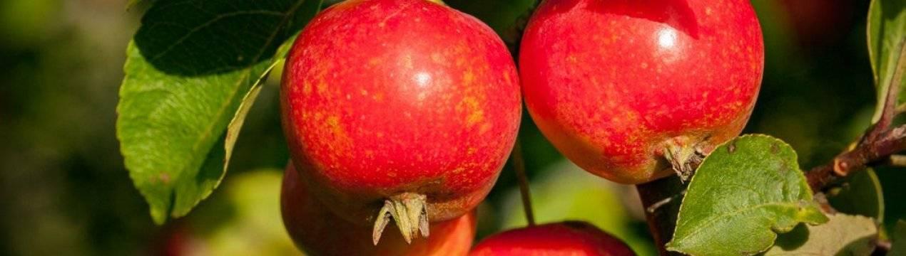 Яблоня гала: описание сорта и отзывы садоводов