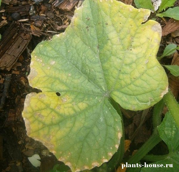 Лечение и борьба с болезнями и вредителями тыквы - с фото