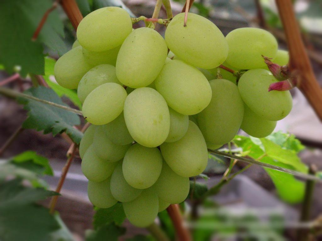 Особенности выращивания сорта винограда кеша: уход, подкормка и обрезка