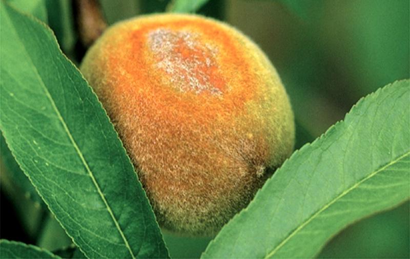 Почему алыча сбрасывает плоды?