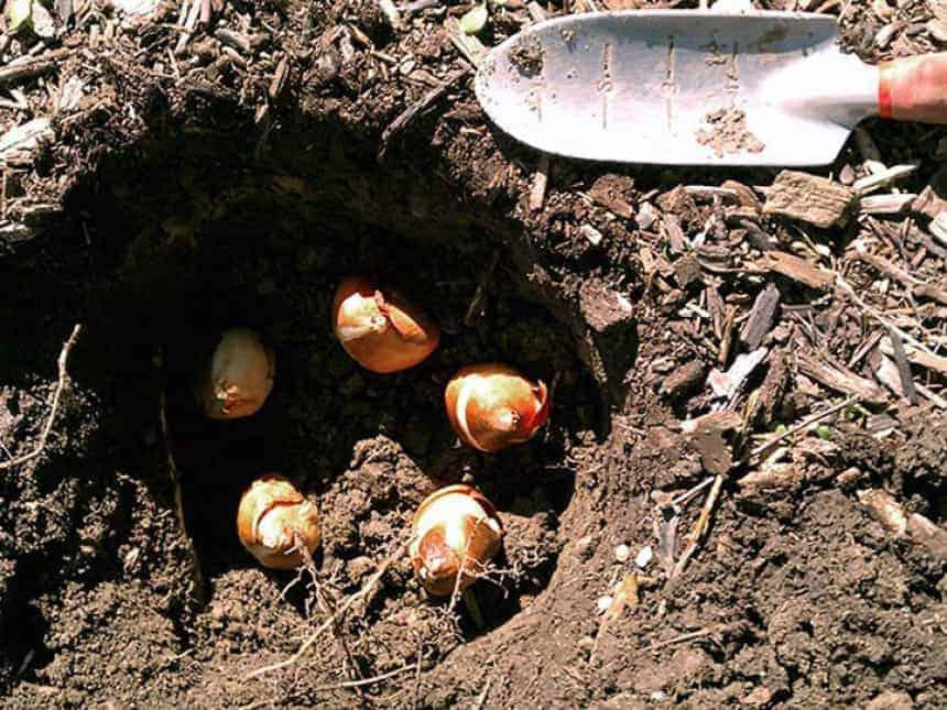 Посадка тюльпанов осенью под зиму: в каком месяце высаживать, на какую глубину?
