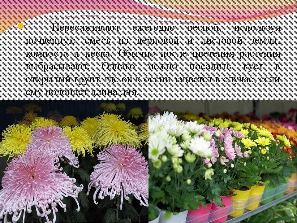 Посадка хризантемы и уход за ней: осенью, весной, когда лучше посадка хризантемы и уход за ней: осенью, весной, когда лучше