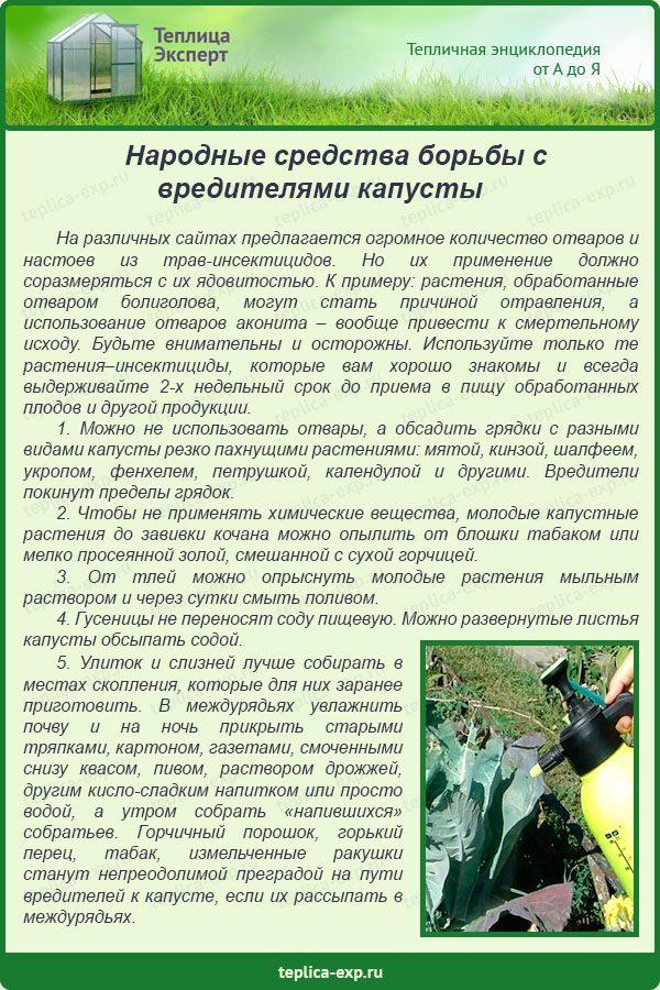 Как избавиться от вредителей капусты без химии - дачные советы.ру