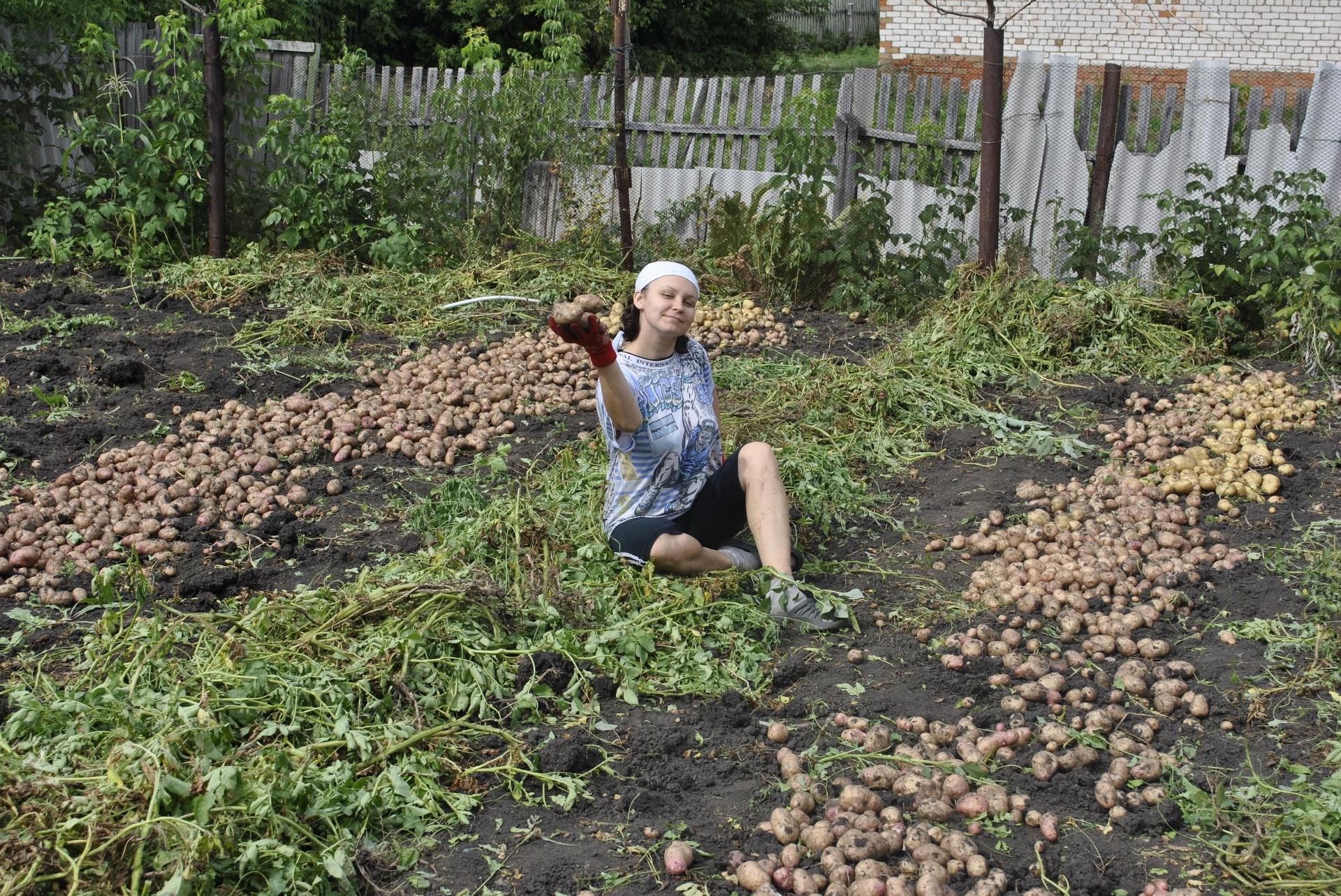 Правильная посадка и уход за картофелем в открытом грунте