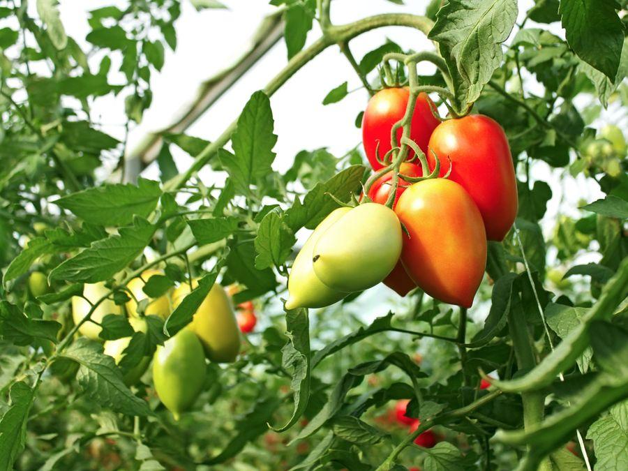 Помидор, поражающий своими размерами воображение — сорт «чудо сада» — описание и рекомендации