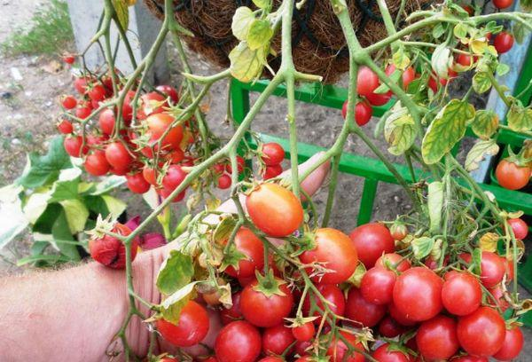 Характеристика и особенности выращивания томатов «красная гвардия»