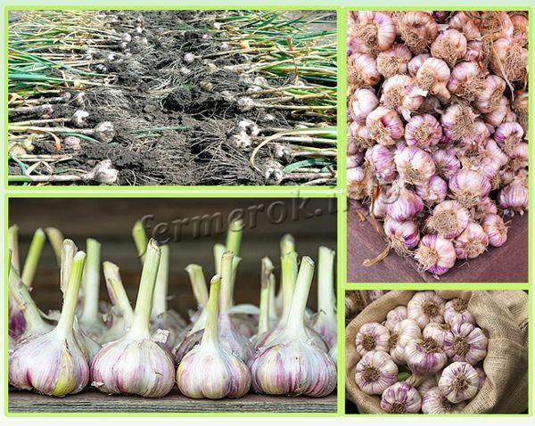 Описание чеснока сорта любаша, его урожайность, выращивание и уход