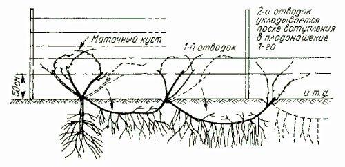 Виноград плохо растет, что делать: причины, чего не хватает и советы садоводов