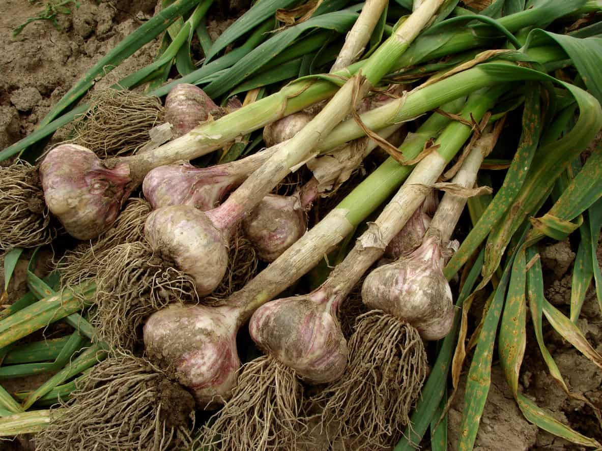 Чеснок: посадка и уход, выращивание из семян в открытом грунте, уборка, хранение, фото