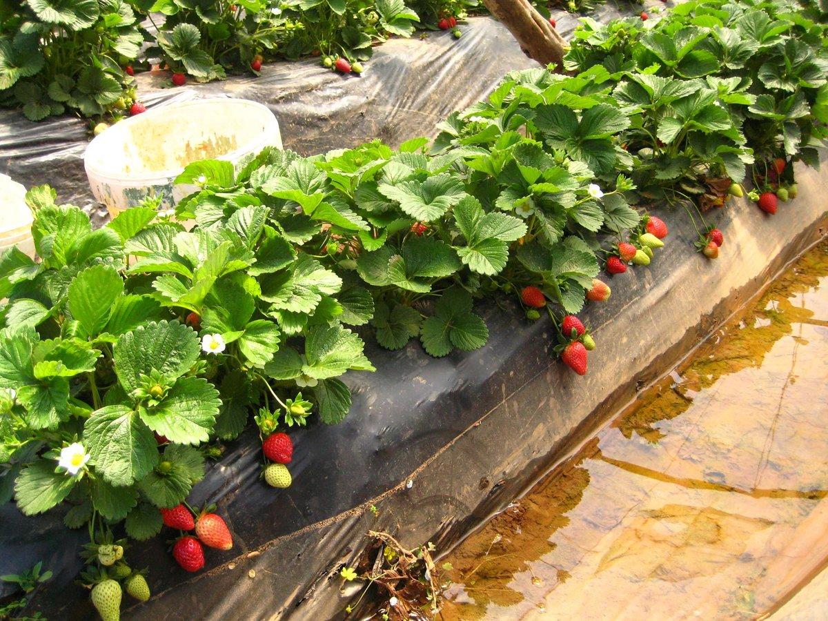 Правила выращивания клубники в теплице круглый год