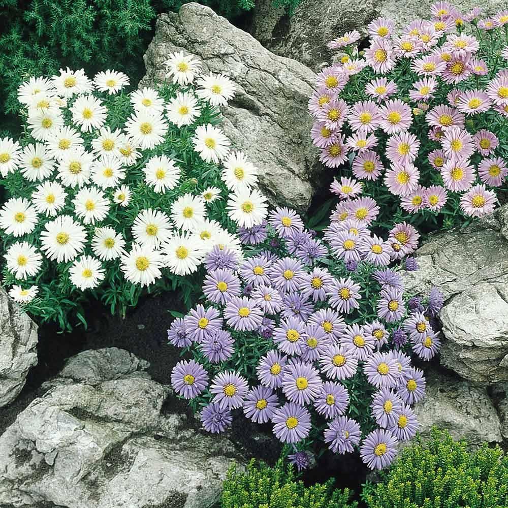 Астра альпийская: общее описание, лучшие сорта с фото, применение в дизайне сада + особенности выращивания и ухода