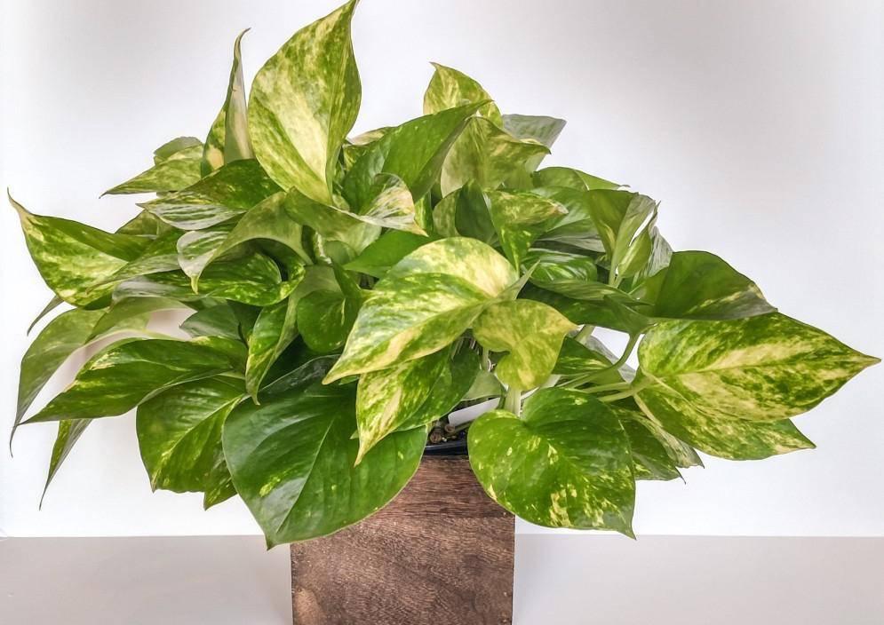Сциндапсус уход в домашних условиях, можно ли держать дома, фото растения в интерьере, размножение черенкованием