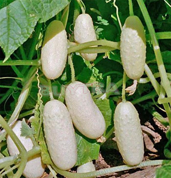 Белые огурцы: 8 сортов с описанием, фото и отзывы