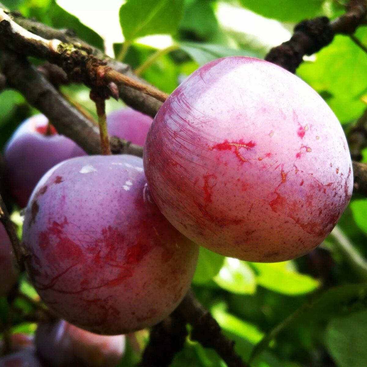 Китайская слива «красный шар» - яркий красочный привет из китая в вашем саду