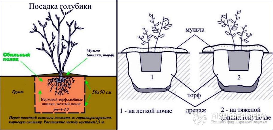Как выращивать голубику в домашних условиях